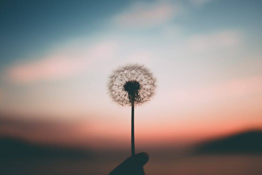 A picture of a dandelion